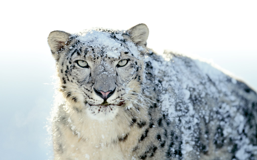 First Impressions: Snow Leopard